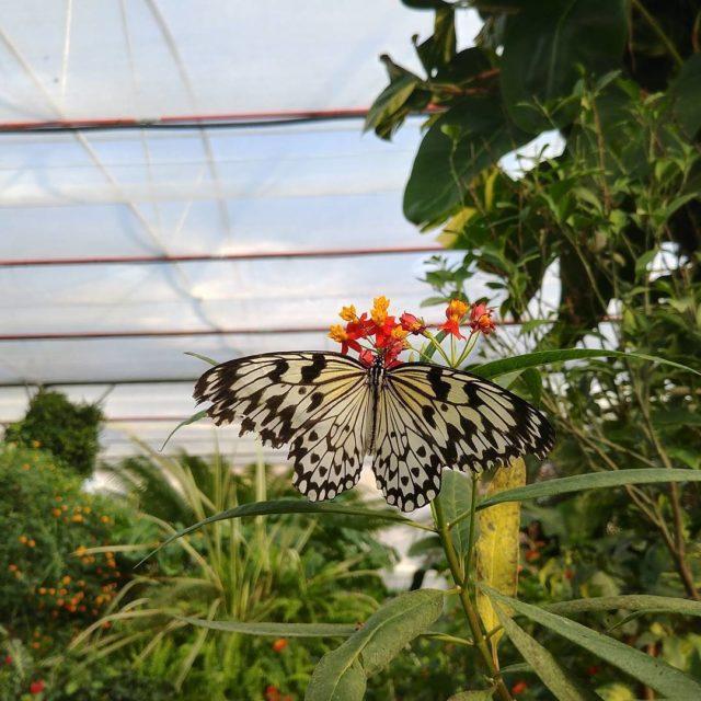 La farfalla Idea